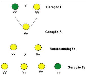 Primeira Lei de Mendel e o experimento com as ervilhas