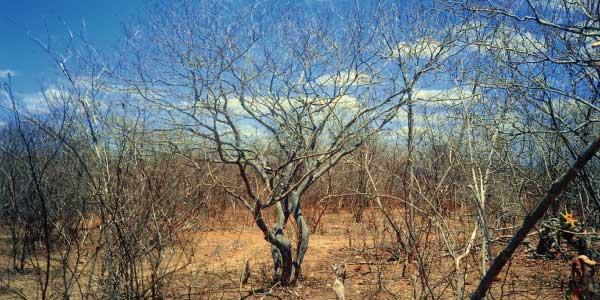 Biomas brasileiros - Caatinga: terra seca e alaranjada com muitas árvores secas de tronco cinza e retorcido