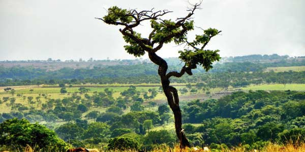 Biomas brasileiros - Cerrado: tronco retorcido e planície com pouca vegetação, verde amarelado ao fundo