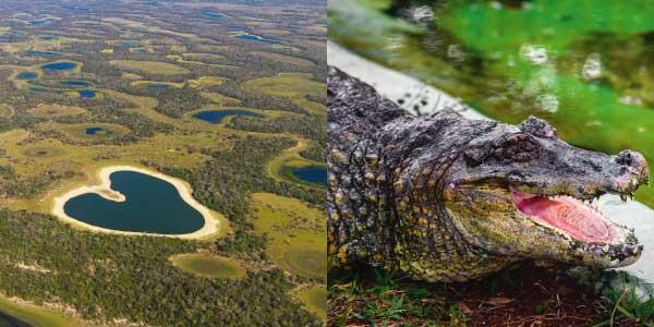 Biomas brasileiros - Pantanal: campos alagados numa planície de plantas não muito altase um jacaré com a boca aberta
