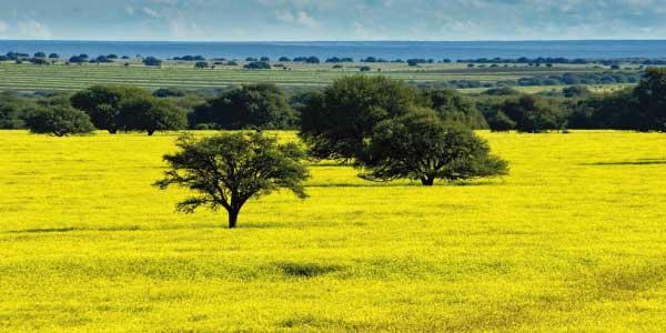Biomas brasileiros - Pampa: grama cor verde limão rasteira e uma árore verde ao centro