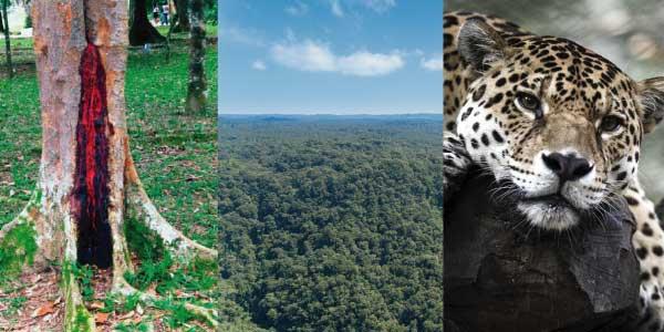 Biomas brasileiros - Mata Atlântica:pau brasil com o tronco mostrando a cor vermelha, áravores altas e uma onça pintada descansando