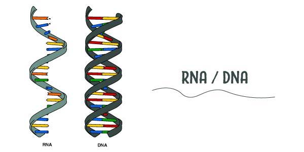ácidos nucleios (RNA e DNA)