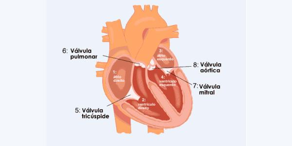 anatomia coração
