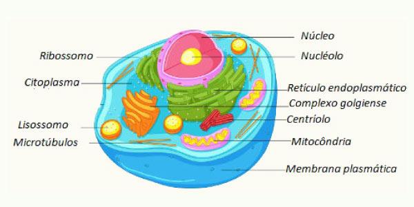 celula animal Células Eucariotas