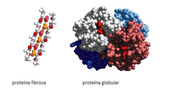 proteína fibrosa e globular
