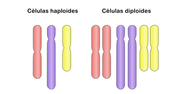 celulas haploides e diploides