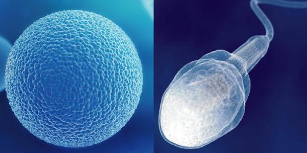 espermatozoide e óvulo