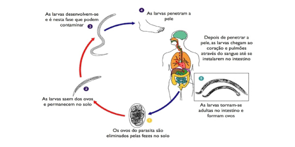 ciclo ancilostomideo