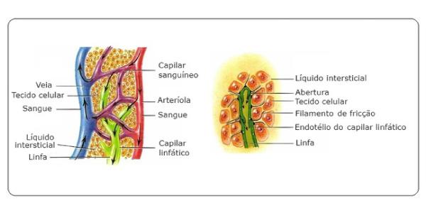 como-funciona-o-sistema-linfático