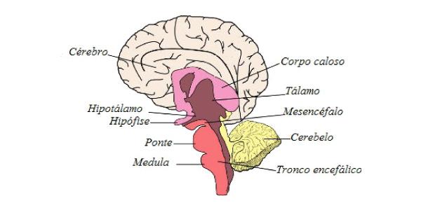 encéfalo-estrutura