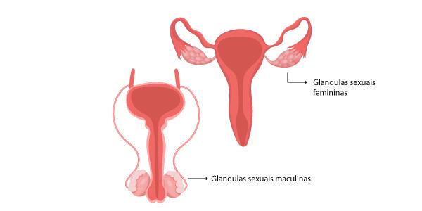 glandulas-sexuais
