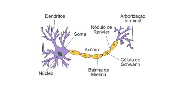 Fisiologia Do Sistema Nervoso Tudo Sobre A Estrutura