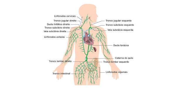 sistema-linfatico do corpo humano