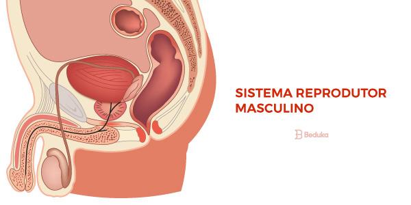 Sistema-Reprodutor masculino