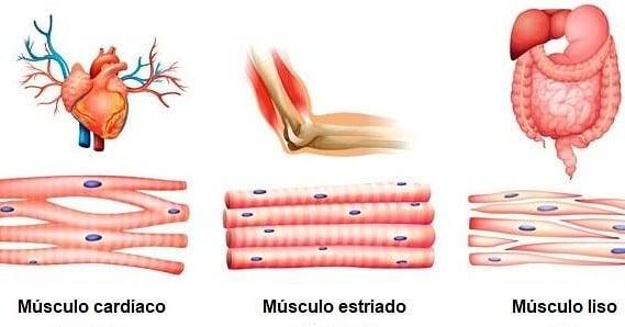 tipos-de-musculos