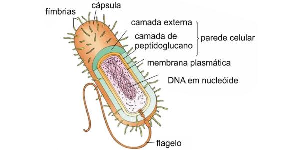 estrutura das Bactérias -Exercícios sobre Bactérias