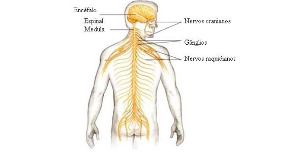 tipos de nervos Exercícios sobre Sistema Nervoso