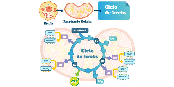 ciclo-de-krebs