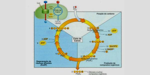 fase escura fotossintese