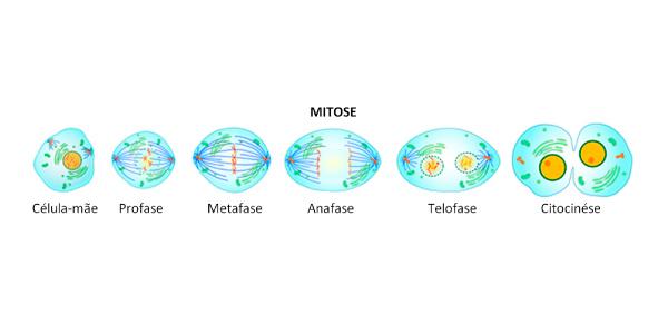 mitose, processo de divisão celular representada por imagens