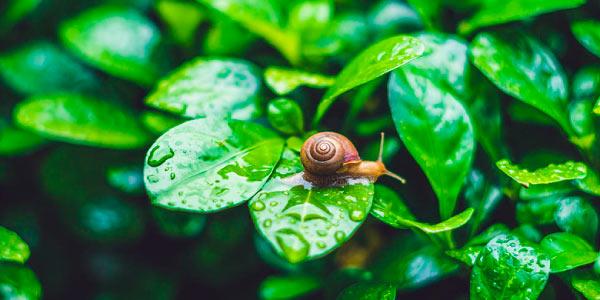 parasita causador da Esquistossomose usa o caramujo como hospedeiro intermediário