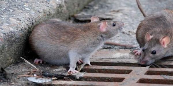 Lepstospirose é transmitida por meio da urina dos ratos