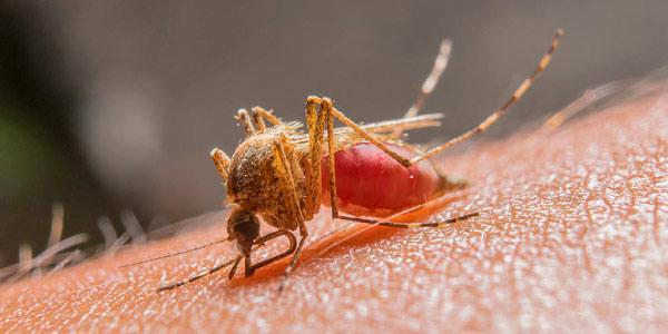 A malária é causada por protozoários e o seu vetor é o mosquito-prego no Brasil (Anopheles)