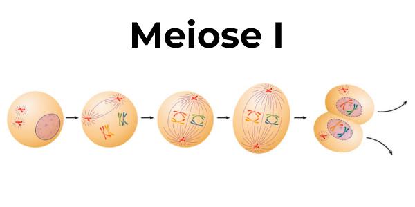 etapas da meiose