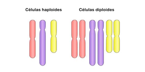 células haploides e diploides