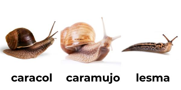 caracol, caramujo, lesma