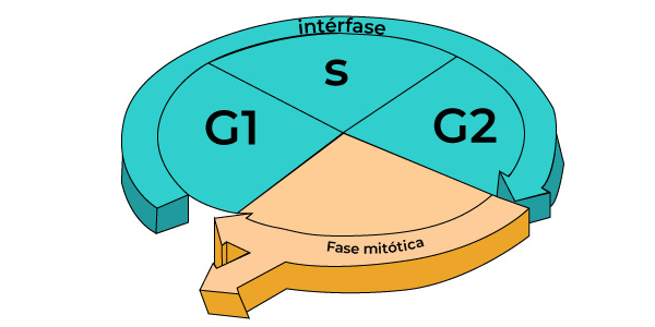 etapas interfase da mitose