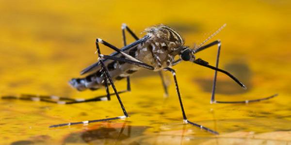 mosquito responsável pela transmissão da febre amarela