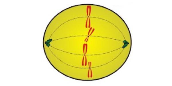 metafase mitose