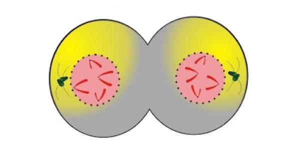 telófase mitose