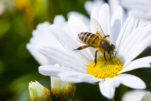 abelha_coletando_nectar