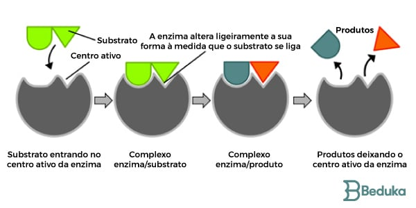 Como as enzimas funcionam