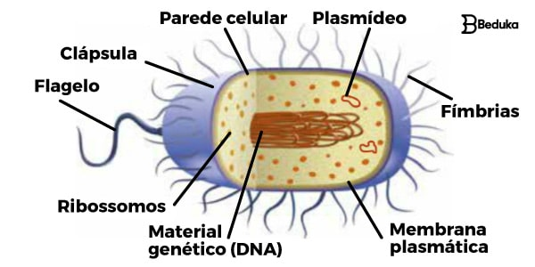 Reino-Monera-estrutura-celular-das-bactérias