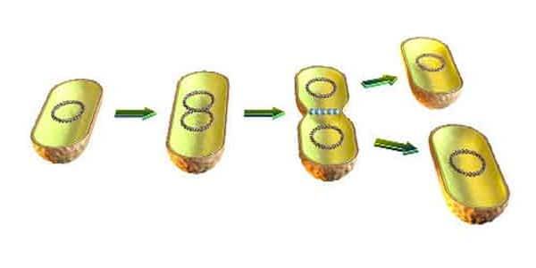Reino-monera-reprodução-assexuada-por-bipartição-ou-fissão-binária-por-mitose-etapa-por-etapa