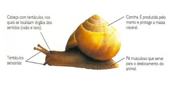 anatomia-partes-do-corpo-dos-moluscos