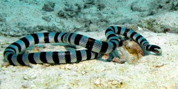 Cobra marinha