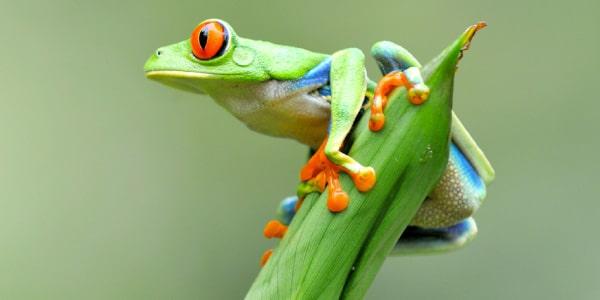 perereca-colorida-verde-e-laranja