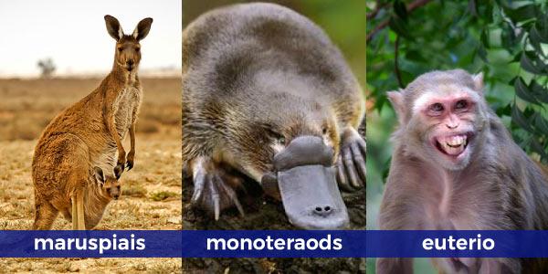 subclasses-dos-mamíferos-marsupiais-canguru-monotremados-ornitorrinco-e-euterios-macacos