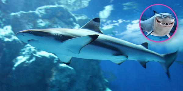 Tubarão branco e bruce
