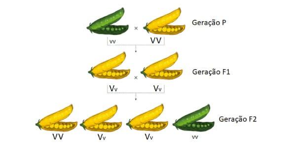 Esquema-gráfico-da-primeira-lei-de-mendel-com-as-ervilhas-verdes-e-amarelas