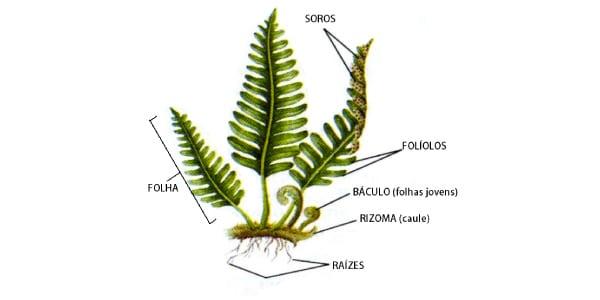 Estrutura-das-Pteridófitas