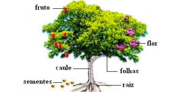 estrutura-das-angiospermas-caule-raiz-folhas-frutos-flores