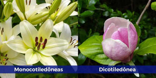 monocotileônia-e-dicotiledônia