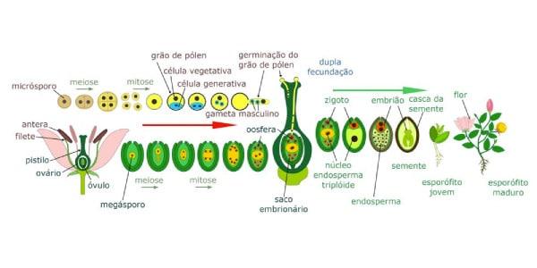 reprodução-das-angiospermas
