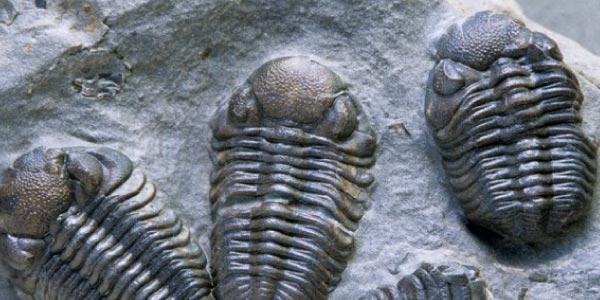 trilobita era paleozoica
